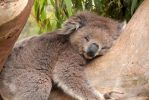 Sleeping koala by onope
