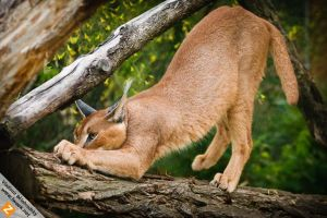 Caracal - sharping claws by Wild-Lweek