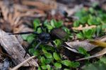 Common Black Spider by Althalore