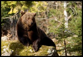 king of european forests by morho