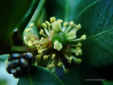 Fireworks IV (Buxus Sempervirens) by sin-mavs