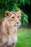 Curious Lioness II by amrodel