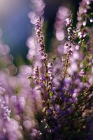 bokeh heather by Justine1985