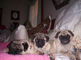 The Pugs by Anoani