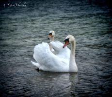 Swan lake. by Phototubby