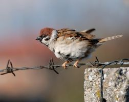 A sparrow by corsuse