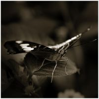 Butterfly VI by GreenEyedHarpy