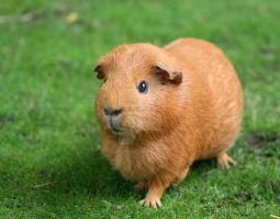 Guinea pig by Camera-Pete