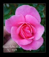 Pink Rose 10 by Dragon-Celtic-Chan
