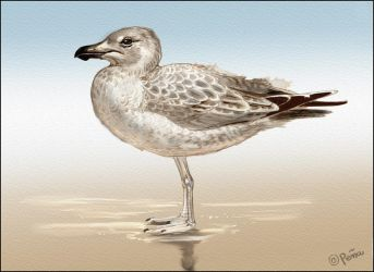 Juvenal Herring gull by Reptangle