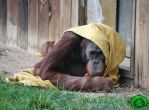 The Orangutan and the Blanket 02 by Idraemir