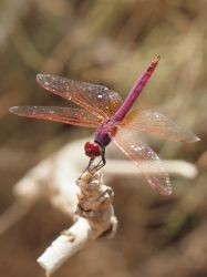 Red Dragonfly 12 by mhmalali