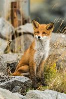 Red fox  by PurpleShallots