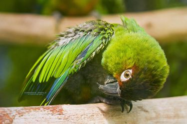 Green Parakeet by DominikaAniola