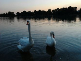Swans in Idroscalo, the sea of Milano by shadethechangingman