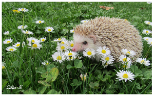 Hedgehog and flowers by zilia-k