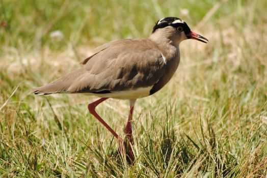 Crowned Plover/Lapwing by artlovr59