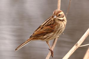 Reed Bunting 2 3-2-18 by pell21