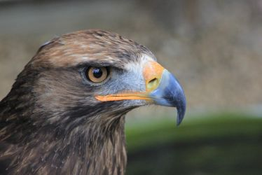 Golden Eagle by S4MMY4RT