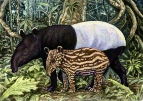 Tapir Mom and Baby by WillemSvdMerwe