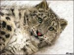 Baby snow leopard: super model by woxys
