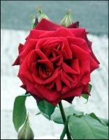 Outdoor red rose by moonduster