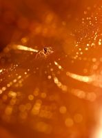 Golden light golden web by padika11