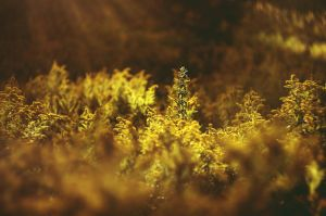 Fields of gold by borderone