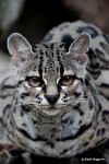 Margay Cat by KatieBriggsArt