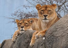 The Glares of the Lionesses by HecklingHyena