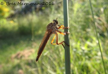 Robber Fly by BreeSpawn