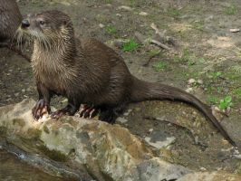 Northern River Otter 07 by animalphotos