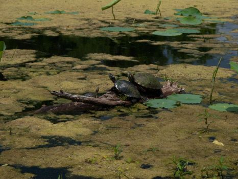 Swamp Turtles by fuego316
