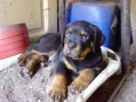 Puppy rottweiler by Whispery