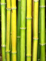 Bamboo by lucifer-likes-sweets