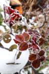 Frozen Roseleaves by Jack-the-Shinigami