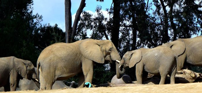 African Elephants by Toniasis