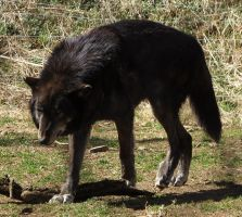 Gray Wolf Stock 2 by HOTNStock