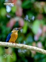Stork-billed Kingfisher by jitspics