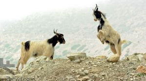 Acting the Goat by andrewfphoto