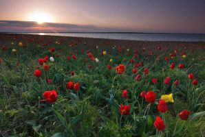 The sea of Tulips by DeingeL