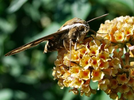 Bedstraw Hawk-moth 2 by moonhare77