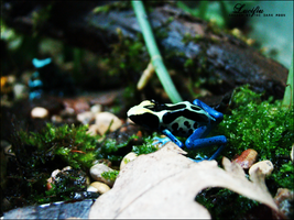 Blue-yellow-frog by Lucifiu