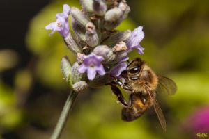 Busy Bee by IHEA