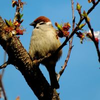 Eurasian Tree Sparrow by BlackEyesSnowAngel