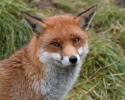 Red fox No.2 by philpem