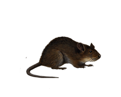 Png Rat 4 by Moonglowlilly
