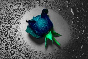 blue rose by chirilas