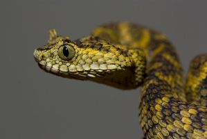 Horned bush viper by AngiWallace