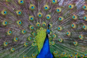 Displaying Peacock by Daniel-Wales-Images